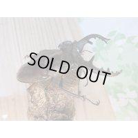 野外採集品‼長野県岡谷市産☆ミヤマクワガタ♂57ミリ〜68ミリペア販売!!
